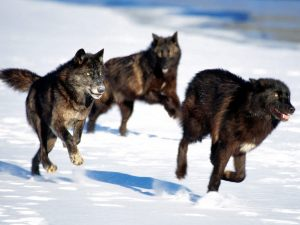 black-wolf-pack