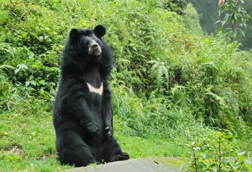 Himalayan_bear